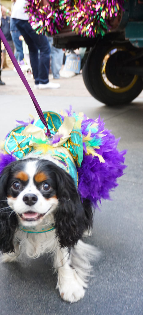 Mutti Gras Parade and Violet, queen of medium size dogs, wearing New Orleans made costume, Los Angeles, CA (2/22/20)